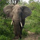 Elephant Bull in Musk by Zeanana