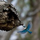 Kingfisher with Grub by bettyb