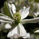 Spring Clematis by raneangel