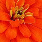 Orange Joy by ctheworld