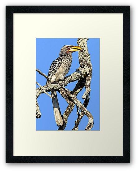 Yellow Billed Hornbill by Michael  Moss