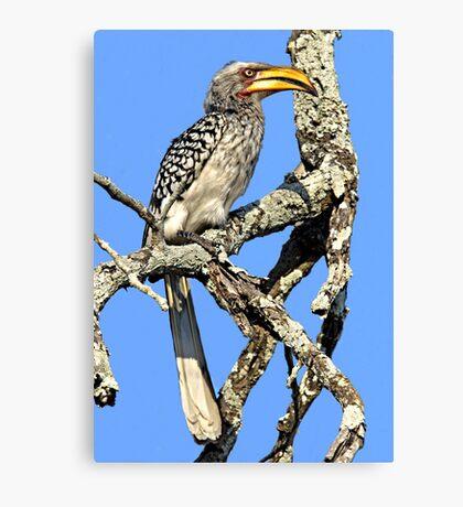 Yellow Billed Hornbill Canvas Print