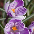 Spring has arrived - purple crocus by Sandra O'Connor