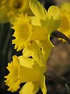 Sunset On The Daffodils by NatureGreeting Cards ©ccwri