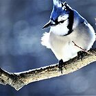 another blue jay morning  by lorilee