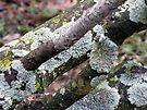 Lichen in Spring by MarjorieB