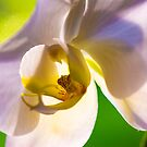 Lavender and White Hawaiian Phalaenopsis Moth Orchid by HealthyTrekking