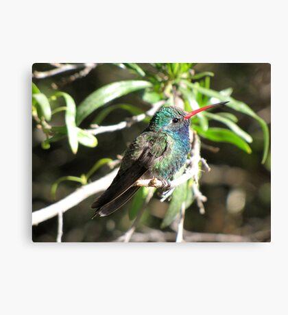 Broad-billed Hummingbird ~ Male II Canvas Print