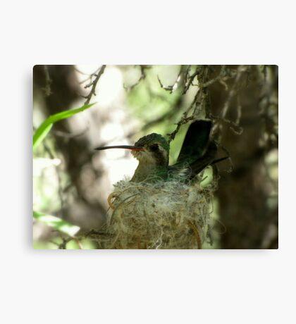 Broad-billed Hummingbird ~ Nesting Female Canvas Print