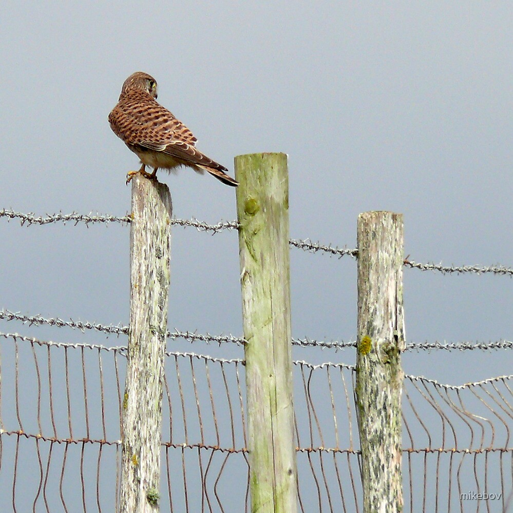 Kestrel on the Fence by mikebov