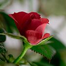 A Red Rose by jayant