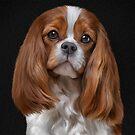 Drawing Dog Cavalier King Charles Spaniel  by bonidog