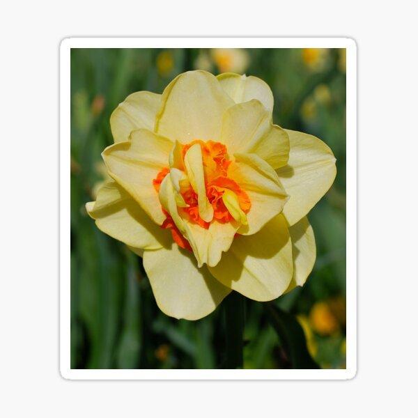Daffodil Shimmers Sticker