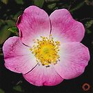 D1G1TAL-M00DZ ~ FLORAL ~ Bramble Rose Up Close and Personal by tasmanianartist 100219 by tasmanianartist