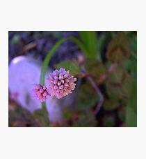 Mace Flower Photographic Print