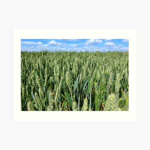 Grain Field - Marholm, Cambridgeshire Art Print