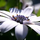Side View of White Daisy Flower Head Closeup  by Emma Grimberg