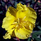 Head of yellow flower Oenothera drummondi close-up view from above by Emma Grimberg