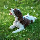 My Theodore ~The English Springer Spaniel~ Bubbles by Gypsykiss