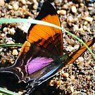 Daggerwing Swallowtail Butterfly by MyFrogCroaked