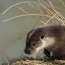 Otter (lutra lutra) by Foxfire