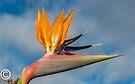 Stelitzia-Bird of Paradise by DPalmer