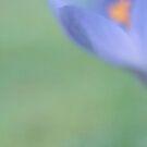 crocus II by Purplecactus