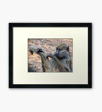 Vervet monkeys grooming Framed Print
