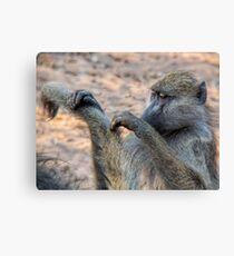 Vervet monkeys grooming Canvas Print
