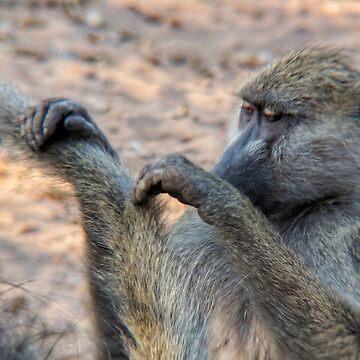 Vervet monkeys grooming by 8kPzGZjJ20Rj