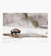 Lámina fotográfica Bison Keeping Warm, Parque Nacional de Yellowstone
