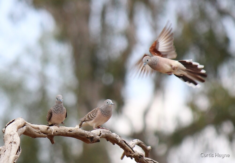 Peaceful Doves by Curtis Hayne