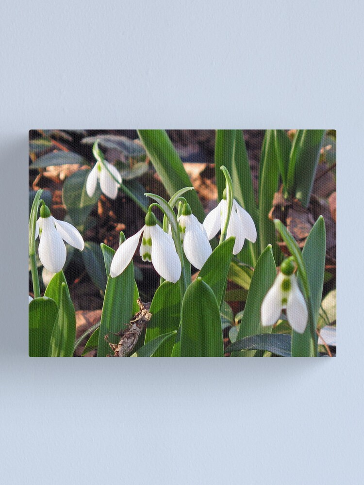 Alternate view of First Snowdrops Canvas Print