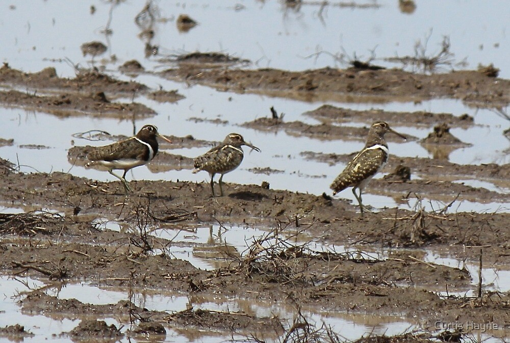Australian Painted Snipes on a wet fallow field by Curtis Hayne