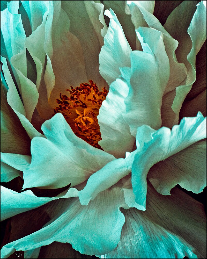 White Peony Petals by Chris Lord
