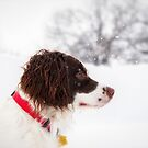 My Theodore ~The English Springer Spaniel~ Snow by Gypsykiss