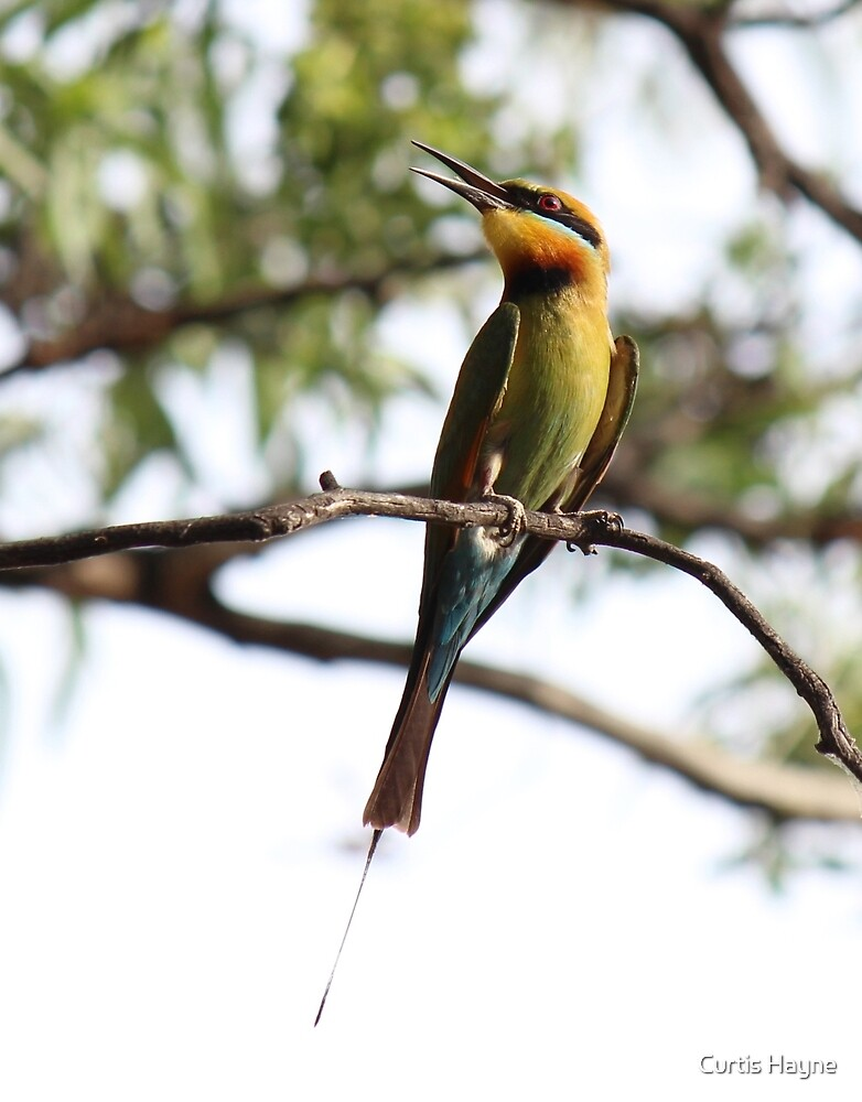 Rainbow Bee-eater by Curtis Hayne
