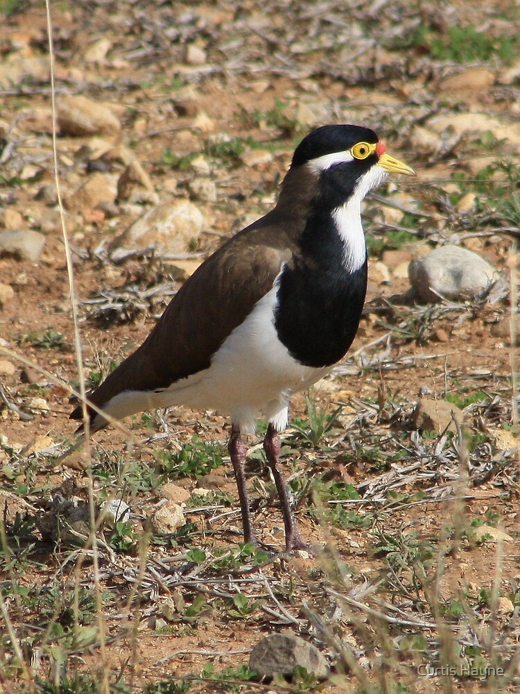 Banded Lapwing by Curtis Hayne