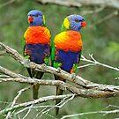 Rainbow Lorikeets. Brisbane, Queensland,  Australia by Ralph de Zilva