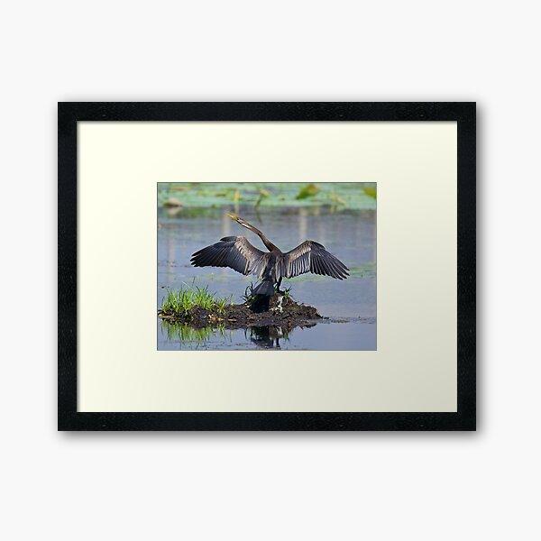 NT ~ WO ~ MARINE BIRD ~ Australiasian Darter 8PRZ2C32 by David Irwin Framed Art Print