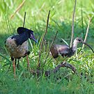 NT ~ IBIS ~ WATERFOWL ~ Straw-necked Ibis and Magpie Goose by David Irwin by tasmanianartist