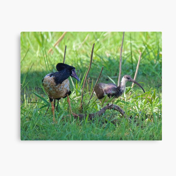 NT ~ IBIS ~ WATERFOWL ~ Straw-necked Ibis and Magpie Goose Y3NR4THN by David Irwin Canvas Print
