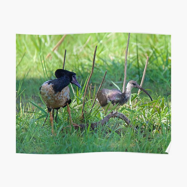 NT ~ IBIS ~ WATERFOWL ~ Straw-necked Ibis and Magpie Goose by David Irwin Poster