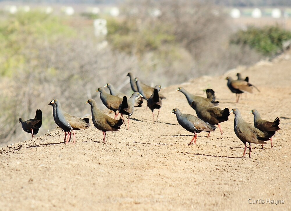 Black-tailed Native-hen by Curtis Hayne
