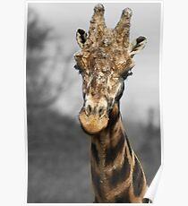 Giraffe at west midlands safari park Poster