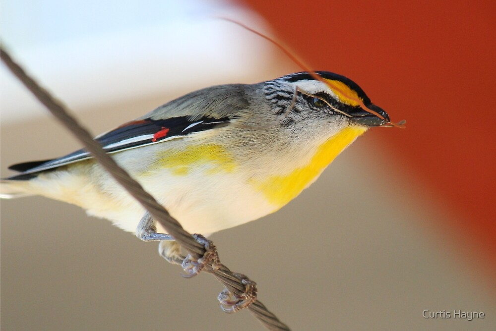 Striated Pardalote by Curtis Hayne