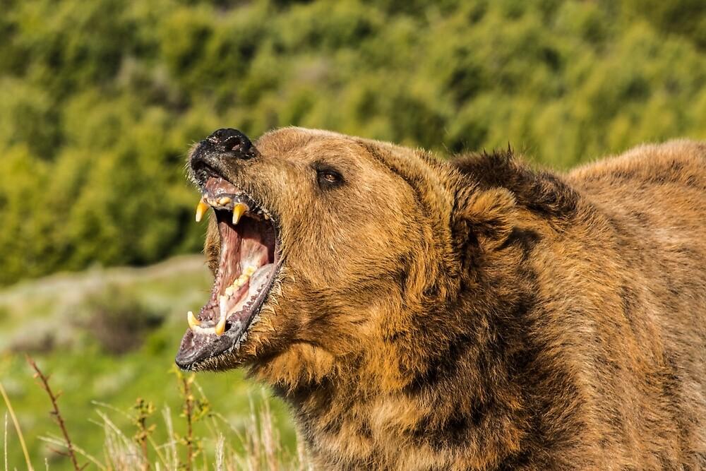 Grizzly Bear Roar by Matthew Kochel JJ In A Jayco