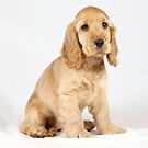 Cocker Spaniel puppy by Rory Trappe