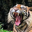 Lovely Smile - Bengal Tiger by Clive