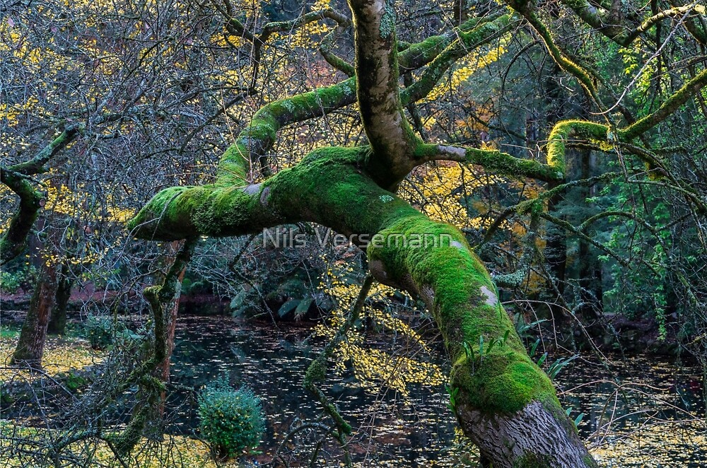 Moss covered tree in a forest by Nils Versemann